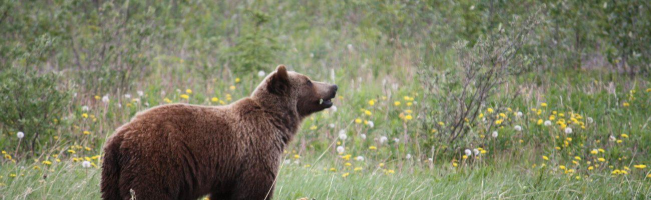 Grizzly bear, Yukon Territory
