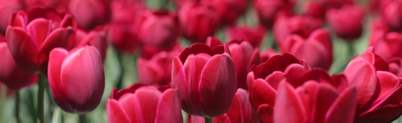 Red tulips, Ottawa